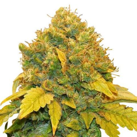 banana kush seeds online , buy banana kush seeds , banana kush seeds for sale